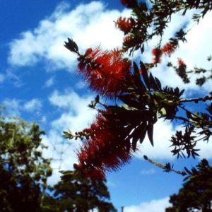 Australische Pflanze, rot, Buschig