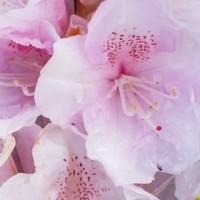 Zartrosa Blüten